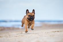 Happy French Bulldog Dog Running On A Beach