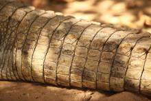 Crocodile - Tail Detail