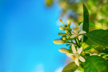 Flowers Of An Orange Tree On A Branch Against The Sky. Space For Text