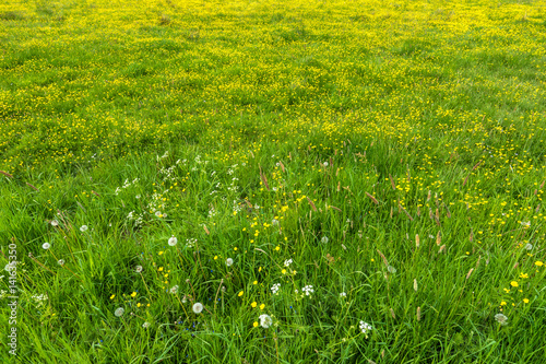 Spring grass, texture with flowers on meadow Tableau sur Toile