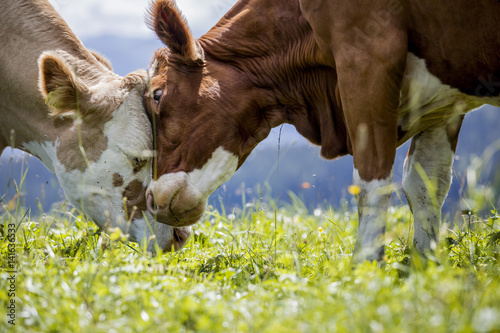 Ingelijste posters Koe Brown and White flecked Cows in the European Alps