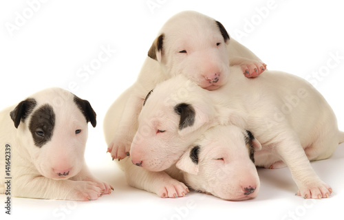 Fotografiet Four Bull Terrier puppies, playing over white background