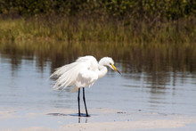 A Snowy White Egret Searches For Food In Shallow Marsh.