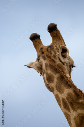 Close-up of Giraffe's Head, Back View, South Africa, Africa Poster