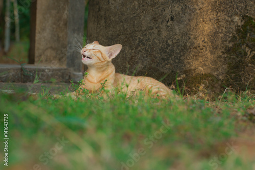 Fototapety, obrazy: Brown-yellow cat lying down on green grass.