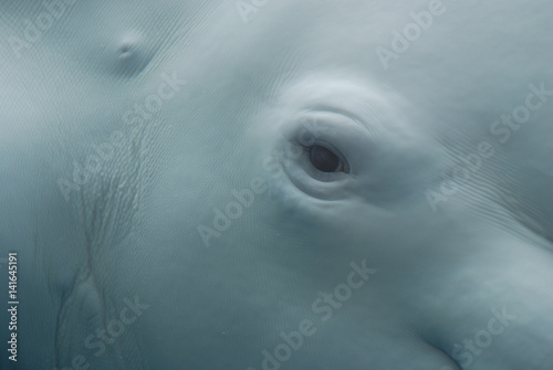 An Up Close Look at the Eye of a Beluga Whale Tablou Canvas
