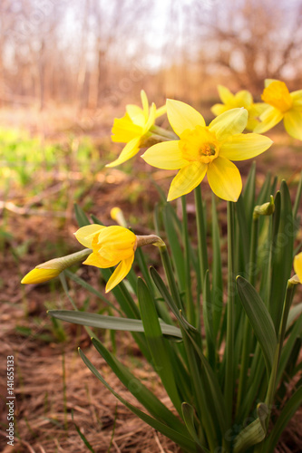 Deurstickers Narcis Yellow daffodil flower