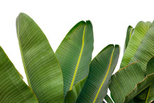 Banana Leaf Isolated On White ...