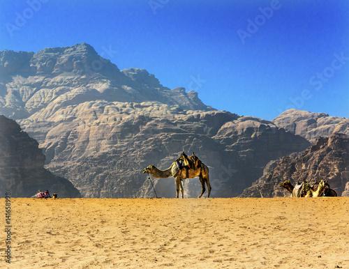 Fotografie, Obraz  Yellow Sand Dune Camel Valley of Moon Wadi Rum Jordan