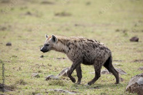 In de dag Hyena Kenya Africa