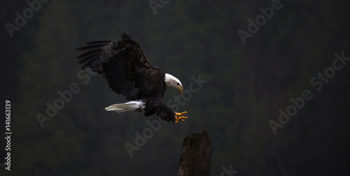 Bald eagle flying outdoors