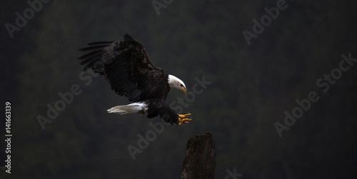 Bald eagle flying outdoors