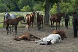 Fototapeta Zwierzęta - konie