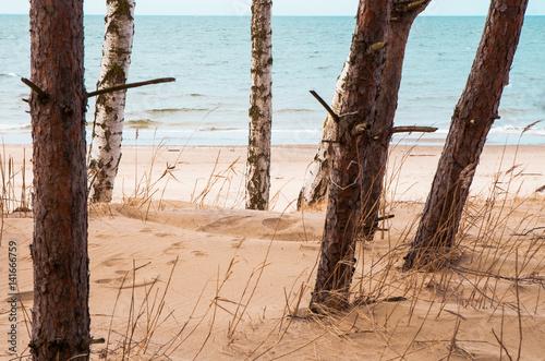 Brzozy na plaży, morze.  - 141666759