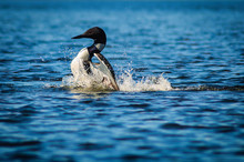 Minnesota State Bird The Common Loon  Immer Gavia Swims In A Lake