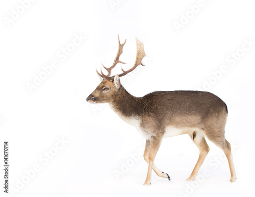 Fallow deer isolated on a white background walking through the winter snow