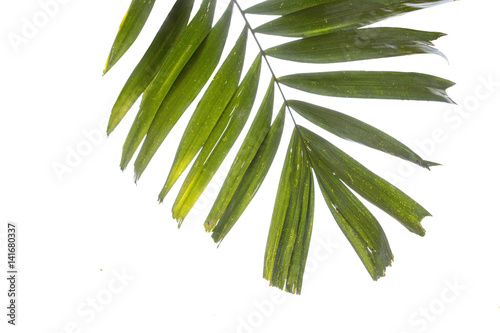 Poster Vegetal green palm isolated background,tall palm