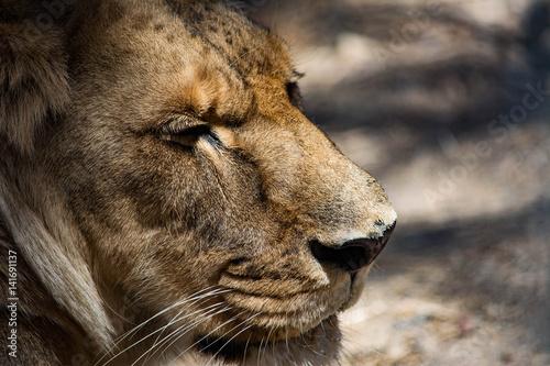 Fototapety, obrazy: Profile Portrait of a Regal Lion