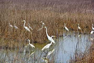 FototapetaAdult and juvenile white eastern great egrets silently stand among dry reed grass while hunting for fish and other insects in marshy area in Goa, India.