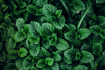 Green Mint Plant Grow Background