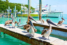 Big Brown Pelicans In Islamorada, Florida Keys