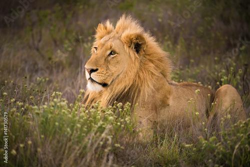 Zdjęcie XXL młody samiec lwa