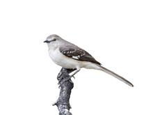 Northern Mockingbird On White ...