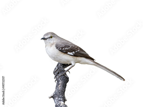 Fotografía Northern Mockingbird on White Background, Isolated