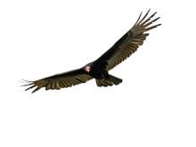 Turkey Vulture In Flight On Wh...