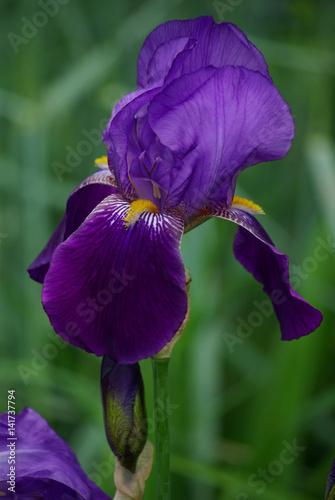 Spoed Foto op Canvas Iris Iris violet au jardin au printemps