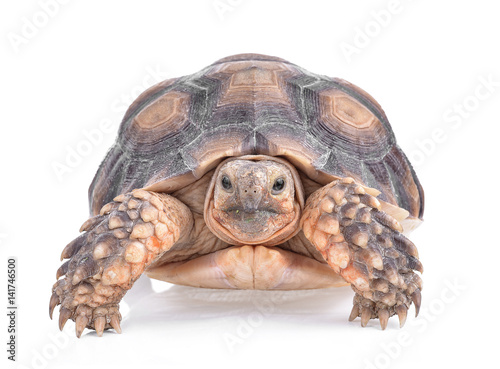 Photo sur Toile Tortue turtle isolated on white background