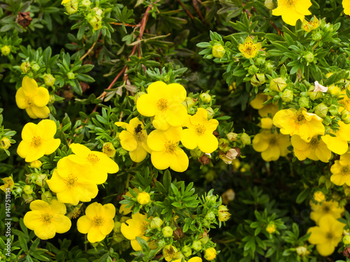 Valokuva  Shrubby cinquefoil Tundra rose Golden hardhack Dasiphora fruticosa flowers on sh