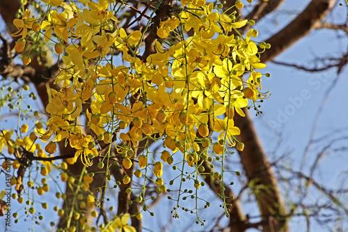 Golden shower cassia fistula bloom in tree called konna in kerala golden shower cassia fistula bloom in tree called konna in kerala india mightylinksfo