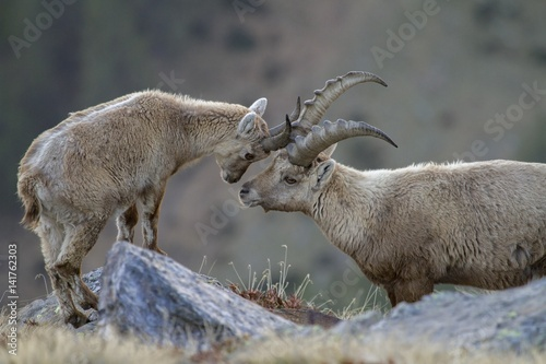 Alpine ibex touching head at Stelvio National Park