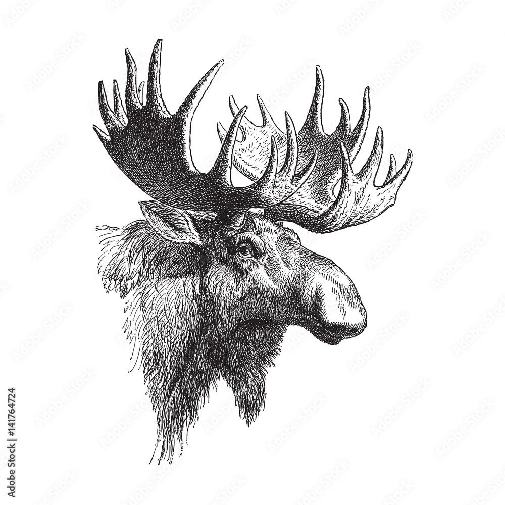 Fotografia Moose Or Eurasian Elk Alces Alces Vintage