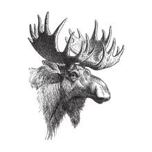Moose Or Eurasian Elk (Alces A...