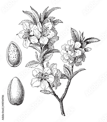 Fotografering Almond (Prunus dulcis) / vintage illustration