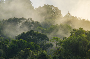 Fototapetadeep tropical forest, canopy tree and fog