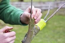 Apple Tree Renovation By The G...