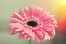 Pink Gerbera Petals In The Sunlight