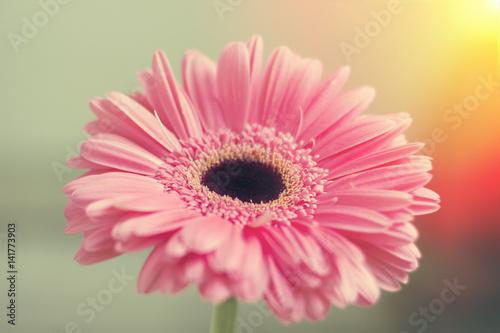 Poster Gerbera Pink gerbera petals in the sunlight