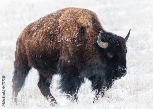 Fotografie, Obraz  American Bison