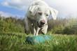 canvas print picture - weißer labrador retriever hund welpe spielt auf einer wiese