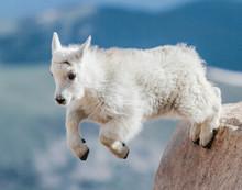 Mountain Goats Of Colorado
