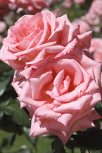 Rosa X / Rose 'Cosima'