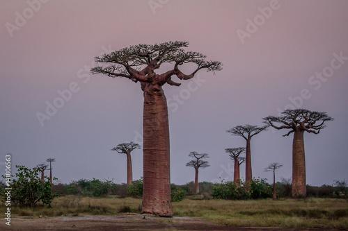 Keuken foto achterwand Baobab Madagascar, Africa, Land of the Baobab trees
