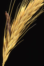 Claviceps Purpurea / Ergot De ...