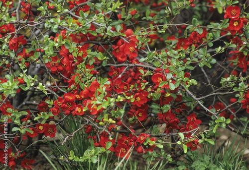 Chaenomeles x superba / Cognassier à fleurs 'Crimson and Gold' Fototapete