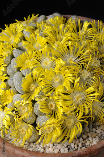 Lithops Helmutii Plante Caillou Buy This Stock Photo And Explore
