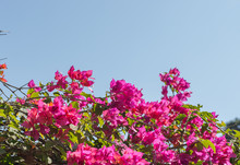 Vibrant Pink Bougainvillea Against A Blue Sky